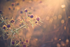 Here come the light (Ro Cafe) Tags: sonya7iii thistles sun sunlight flares sunset flora nature summer nikkor2470f28