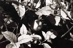 Hidden-Fruit (yanchep_mike) Tags: sun hitele pentax polypanf xtol spotmatic fruit hidden lemon blackwhite blackandwhite beautiful schwarz weiss