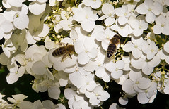 Fleißig / Busy (schreibtnix on 'n off) Tags: deutschland germany bergischgladbach natur nature tiere animals insekten insects biene bees honigbiene honeybee pflanzen plants blumen flowers blüte blossom nahaufnahme closeup fleisig busy olympuse5 schreibtnix