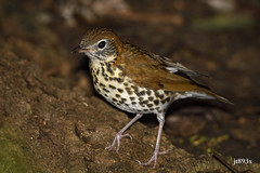Wood Thrush (jt893x) Tags: 150600mm bird breeding d500 hylocichlamustelina jt893x nikon nikond500 sigma sigma150600mmf563dgoshsms songbird thrush woodthrush thesunshinegroup coth alittlebeauty coth5
