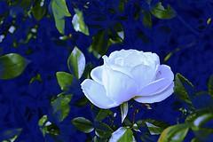 White Rose (maginoz1) Tags: flowers rose geranium jasmine abstract art contemporary curves bulla victoria australia spring october 2018 canon g3x