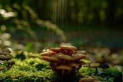 Mushrooms (sigiha1953) Tags: funghi pilze wald forest mushrooms
