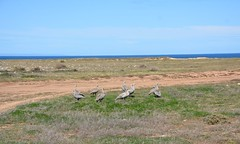 Cape Barren Geese on the cliff top above Goldsmith Beach, Yorke Peninsula South Australia (contemplari1940) Tags: clifftop goldsmith beach yorke peninsula cape barren geese cereopsis novaehollandiae