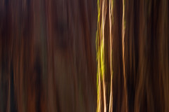 Sequoia Abstract (Chris Skopec) Tags: