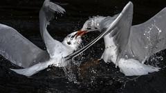Gull battle (mond.raymond1904) Tags: gull river dodder fight dublin ireland