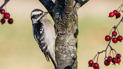 IMG_9990 (brian.a.stamper) Tags: animal bird downywoodpecker dryobatespubescens stlouis missouri unitedstates us