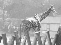 Giraffe (Giraffa camelopardalis) / Jirafa (yaotl_altan) Tags: girafe giraffe giraffa girafa жираф jirafa mexicocity ciudaddeméxico mexique mexikostadt mexiko cidadedoméxico cittàdelmessico ciutatdemèxic мехико мексика mèxic méxico messico animal tier animale giraffacamelopardalis