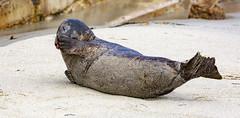 18A_1244 (Mark Ritter) Tags: seal seals macro lajolla california