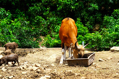 Banteng (Ichabod CK) Tags: banteng