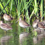 Long-billed Dowitcher thumbnail