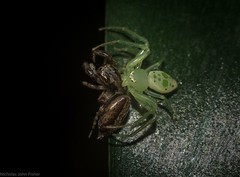 spider eat spider world (dustaway) Tags: rprr rotaryparkrainforestreserve lismore nature northernrivers nsw australia arthropoda arachnida araneae araneomorphae thomisidae thomisinae crabspider salticidae pungalina