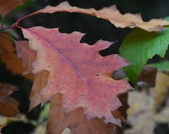 (:Linda:) Tags: germany thuringia village bürden leaf oaktree roteiche eiche
