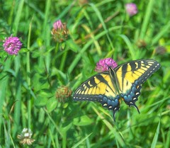 Eastern Tiger Swallowtail (Steve4343) Tags: steve4343 nikon 7200 appalachian trail cherokee national forest red green blue yellow orange white clouds sky beautiful tennessee autumn beauty johnson county lake watauga cloud colorful woods garden gardens happy leaves rocks wildlife landscape mountain tree trees grass water wood butler summer spring macro flower flowers at eastern tiger swallowtail
