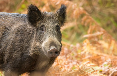 Laie du matin (Eric Penet) Tags: animal sauvage france faune forêt femelle forest avesnois automne wildlife wild mammifère mormal locquignol laie sanglier suidé boar mammal octobre nord nature fall
