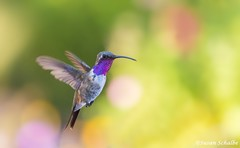 Lucifer in flight (Photosuze) Tags: hummingbirds luciferhummingbirds birds avians aves nature wildlife animals flight flying male calothoraxlucifer