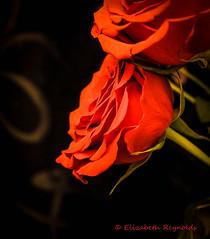 Day 264. (lizzieisdizzy) Tags: rose flower red waroftheroses hope newbeginings love beauty perrenialfloweringplant bush standard floribunda rosace femalename hips heps haws ornate beautiful hybrid scented perfume attarofroses flavouring rosepetals potpourri