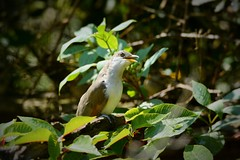 Yellow-billed Cuckoo by Jackie B. Elmore 9-21-2018 Lincoln Co. KY (jackiebelmore) Tags: coccyzusamericanus yellowbilledcuckoo cuckoo lincolnco kentucky nikon7100 tamronsp150600f563 jackiebelmore kos