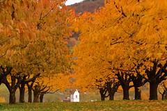 Herbst in Oltingen (andreas.thomet) Tags: kirschen oltingen schweiz switzerland baselland herbst