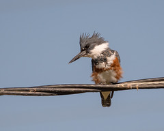 Belted Kingfisher (f) (Becky Matsubara) Tags: avian beltedkingfisher bird birds california californiawildlifearea kingfisher nature outdoors wildlife yolobypasswildlifearea megacerylealcyon alcedinidae martinpêcheurdamérique coraciiformes yolobypass