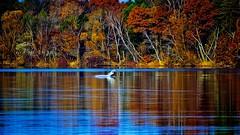 Autumn from a Distance in Minnesota. (Bob's Digital Eye) Tags: autumn autumncolour autumnfoliage autumnleaves autumnallight bobsdigitaleye canon canonefs55250mmf456isstm lake lakescape october2018 swan t3i wildbird flickr flicker