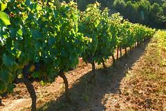 Soon the grape harvests (Josiane D.) Tags: grape harvest vine provence france raisins vigne vendanges landscape