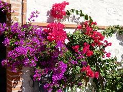 Bougainvillea #italy #veneto #provincivicenza #piovenerocchette #bougainvillea #flowers #beautifulfolwers #botanic #nature #photo #photography #panasonic #lumix #lumixphoto #lumixphotography #lumixdcfz82 (daniele.gecchele) Tags: flowers nature photo lumixphotography lumixphoto botanic beautifulfolwers panasonic bougainvillea lumix provincivicenza italy piovenerocchette photography lumixdcfz82 veneto
