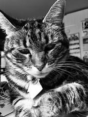 Tigger Getting Ready to Attack (sjrankin) Tags: 2october2018 edited animal cat kitahiroshima hokkaido japan livingroom closeup table tigger grayscale