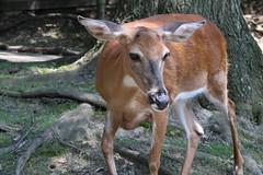 IMG_4452 (avsfan1321) Tags: pittsburgh unitedstates unitedstatesofamerica usa pennsylvania zoo pittsburghzooppgaquarium deer whitetaileddeer