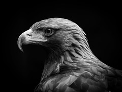 Natural (Stu thatcher) Tags: bird prey stuart thatcher cotswold falconry center uk england canon 7d nature wildlife outside outdoor portrait black white monochrome bw
