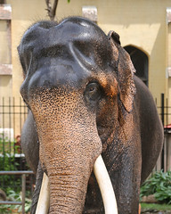 Elderly Elephant (1X7A4550b) (Denish C) Tags: srilanka ceylon elephant mammal beast creature daladamaligawa templeofthetooth kandy perahera elderly head face tusks wash water