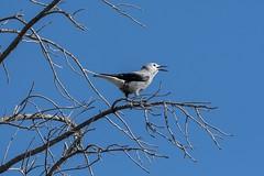 Clark's Nutcracker -- Nucifraga columbiana (penaltykicker) Tags: birds californiabirds california sierranevada mountains wildlife nucifragacolumbiana
