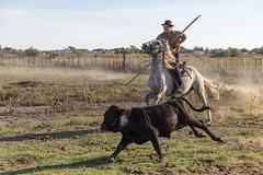 Manadier et sa monture au travail (Xtian du Gard) Tags: xtiandugard manadier cavalier cheval crinière taurillon jeunetaureau taureau bovidés nature camargue provence france mouvement course poussière