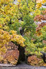 Laubbaum im Herbst aufgenommen an der Edertalsperre - Deciduous tree in autumn photographed at the Edertalsperre (klausmoseleit) Tags: bäume edertalsperre hessen deutschland landschaft orte sigma70200mmf28 photographie jahreszeit herbstlandschaft herbst 105mmf28 nikond7200 pflanzen msphotographie waldeck de
