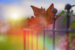 Gateway to Autumn... (KissThePixel) Tags: autumn autumnlight autumncolours autumnwalk leaf leaves gate fence bokeh bokehlicious depthoffield dof dofalicious red colours october nikon nikond750 50mm f14 14 macro closeup macromonday