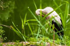 UNA CICOGNA FRA L' ERBA    ----    A STORK IN THE GRASS (Ezio Donati is ) Tags: uccelli birds animali animals acqua water erba grass italia parcodelticino provinciadipavia