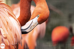 American flamingo (Frankhuizen Photography) Tags: 2018 american flamingo dierenpark fall netherlands ouwehands phoenicopterus ruber rhenen dierentuin zoo animal animals cubaanse closeup kubaflamingo vogel bird