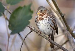 Fox Sparrow (snooker2009) Tags: bird sparrow fox nature wildlife pennsylvania fall migration