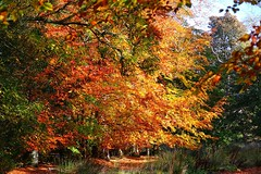 Autumn in Aberdeen (julz.adams) Tags: mothernature treefall browns brown luscious scotland tree trees leaves colourful colours fall autumn