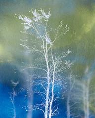 birching a night sky (Hal Halli....happy everything!!) Tags: birch autumn wallart homedecor fall tree nature night sky