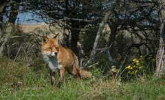 fox (Bart Hardorff) Tags: 2018 awd amsterdamsewaterleidingduinen barthardorff thenetherlands