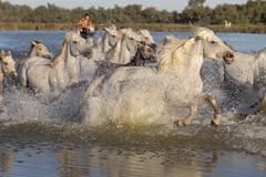 Cavalcade 2 (Xtian du Gard) Tags: xtiandugard camrgue gardian manadier chevaux galop cavalcade chevauchée mouvement course éclaboussures eau waterscape landscape animaux nature provence france