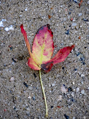 Fallen Autumn Leaf. (dccradio) Tags: lumberton nc northcarolina robesoncounty outdoor outdoors outside thursday evening autumn fall goodevening nature natural leaf leaves cement concrete sidewalk autumnleaf fallen grounded blowndown canon powershot elph 520hs