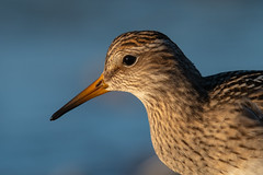 Clarke_181011_4171.jpg (www.raincoastphoto.com) Tags: birds calidrismelanotos birdsofbritishcolumbia pectoralsandpiper birdsofcanada birdsofnorthamerica sandpipersandshorebirds