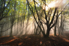 The Incoming Autumn (Hector Prada) Tags: autumn otoño mist bruma fog niebla forest bosque light luz sunlight tree árbol leaves hojas shadows nature naturaleza idyllic dreamy magic mood paísvasco basquecountry