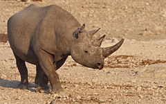 Black rhino 1 (nisudapi) Tags: 2018 africa namibia etosha etoshanp nationalpark wildlife animal rhino black rhinoceros blackrhino horn