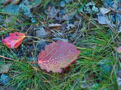 PA071824 (Asansvarld) Tags: leaves autumnleaves autumn höst höstlöv fall microfourthirds olympusomdem5 om50mmf18 manuelltobjektiv manuelltfoto manualphoto manuallens bandhagen stockholm sweden sverige october oktober