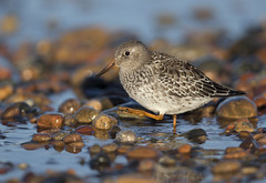 Purple Sandpiper MI_E1U1322 Sep 2018 (www.sabrewingtours.com) Tags: purple sandpiper shorebird shore rocks stones color beach great lake superior whitefish point observatory juvenile bird birding photography photo tour michigan mi up chippewa county brian zwiebel bz sabrewing nature tours snt
