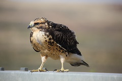 Red Tailed Hawk. Hanna. (Chris Firth of Wakey.) Tags: hanna wyoming redtailedhawk