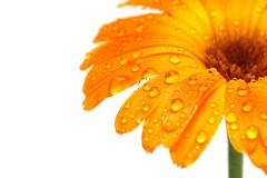 gerber daisy macro with droplets (Desktopedia.com) Tags: