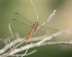 2018-09-25 Big Bend 4 (JanetandPhil) Tags: 2018naturepreservesvariouslocations 20180910artxaznmvacation insects bigbendnationalpark bigbend westtexas nikon nikkor d800 800mmf56 dugoutwells chihuahuandeserttrail female roseateskimmer orthemisferruginea dragonfly
